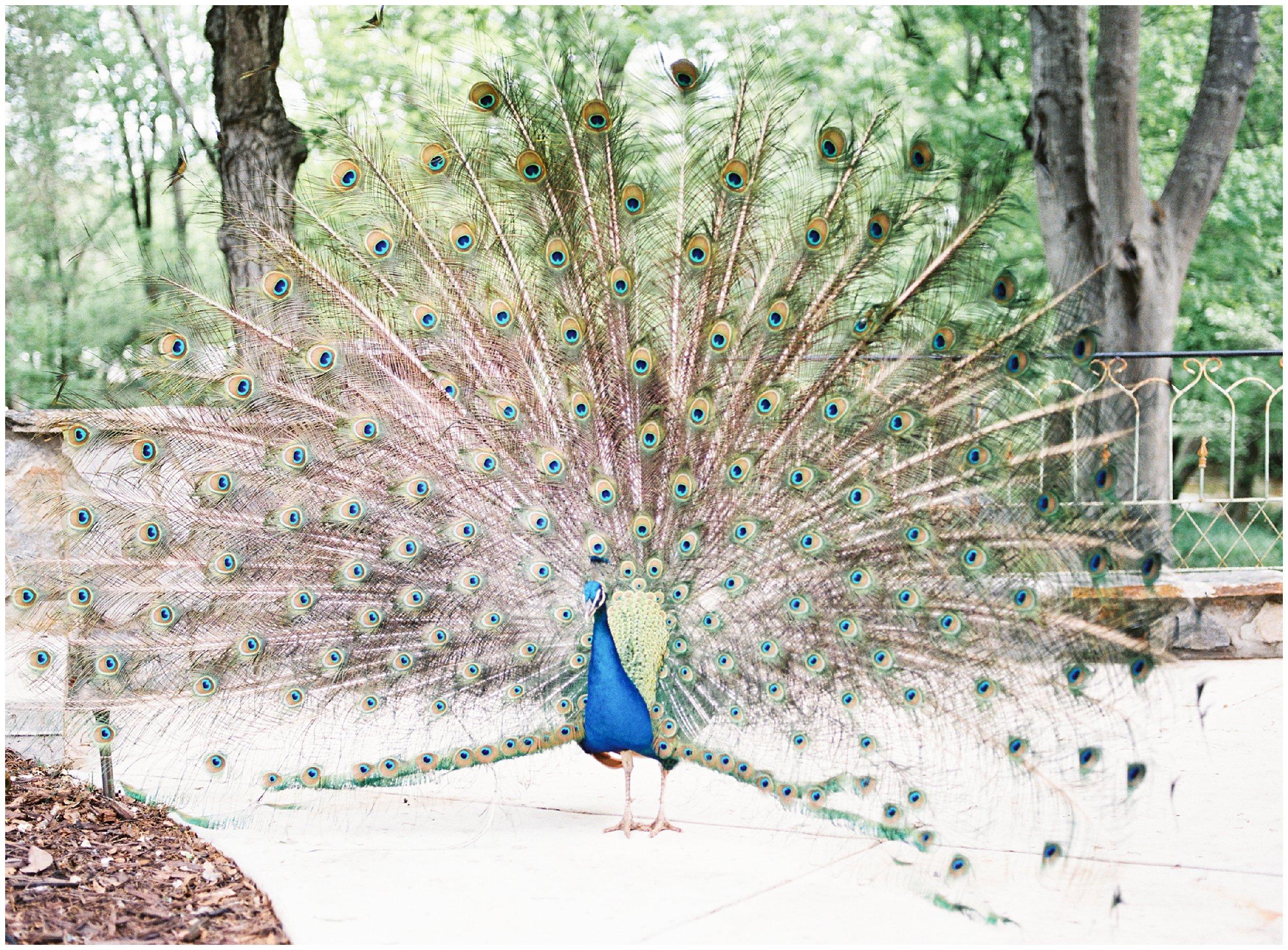 tipsy goat estate peacock